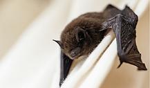 Morcegos-em-casa_-o-que-fazer_-1.png