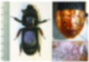 Intact-horned-passalus-beetle-Odontotaen