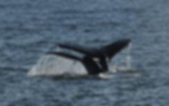 Humpback Whales, St. Vincent's.JPG