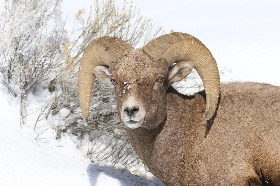 Yellowstone-Park-Bighorn-Ram.JPG