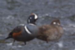 Yellowstone-Park-Harlequin-Ducks.jpg