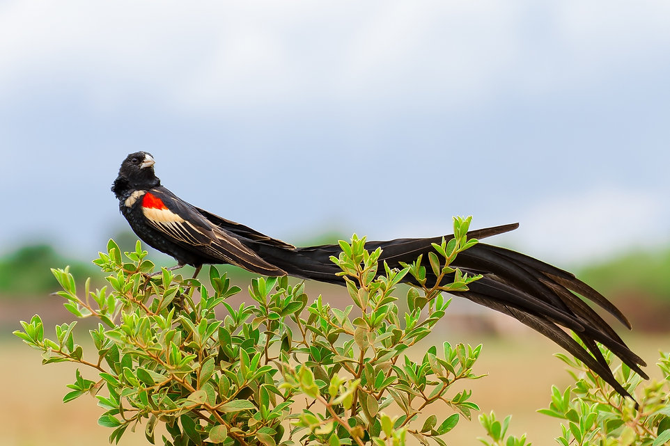 long-tailed widow.jpg