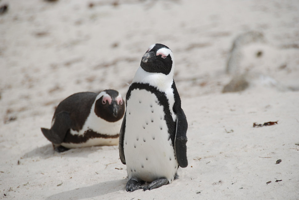 South-Africa-Safari-African-Penguin ).JP