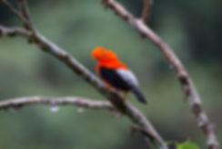 Birding-Ecuador-Andean-cock-of-the-rock.