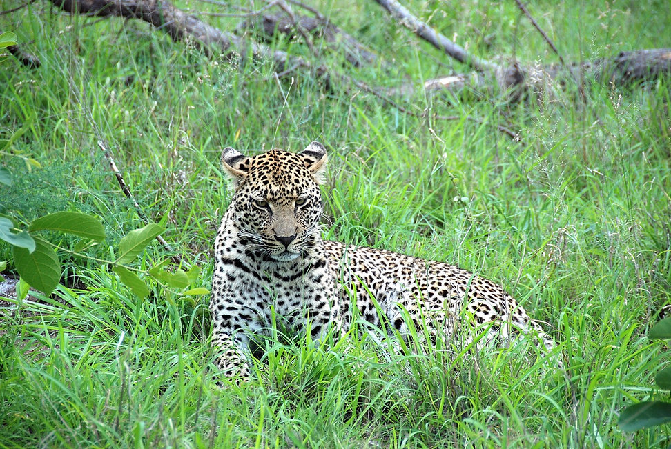 South-Africa-Safari-Leopard.jpg