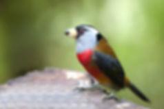 Birding-Ecuador-Toucan-Barbet).jpg