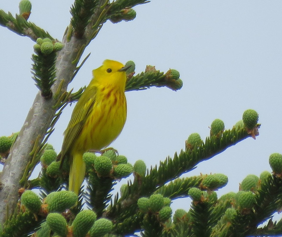 yellow warbler Nova Scotia.JPG