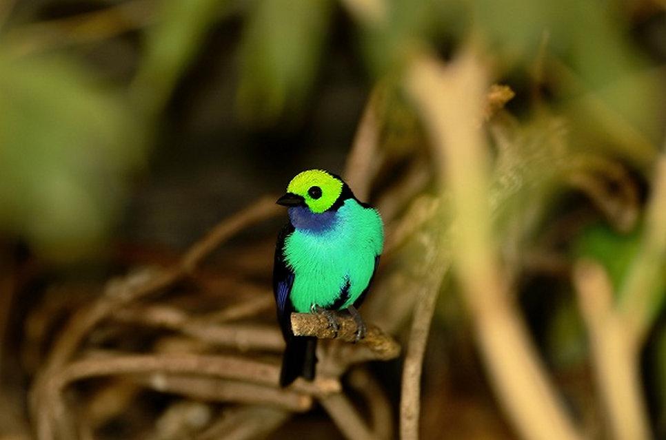 Peru-Paradise- Tanager.jpg
