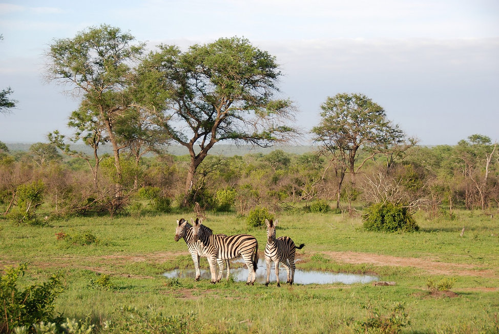 Zebras (2).JPG