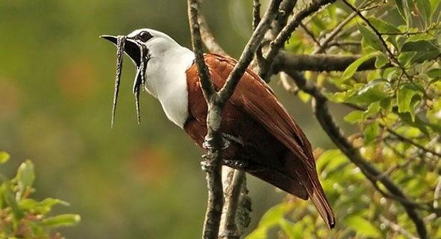 Three-wattled Bellbird.jpg