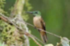 Birding-Ecuador-Fawn-breasted-Brilliant.