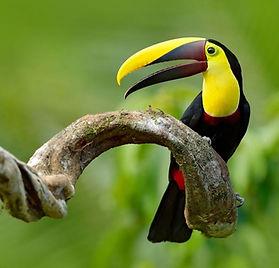 Costa-Rica-Dark- Mandibled-Toucan.jpg