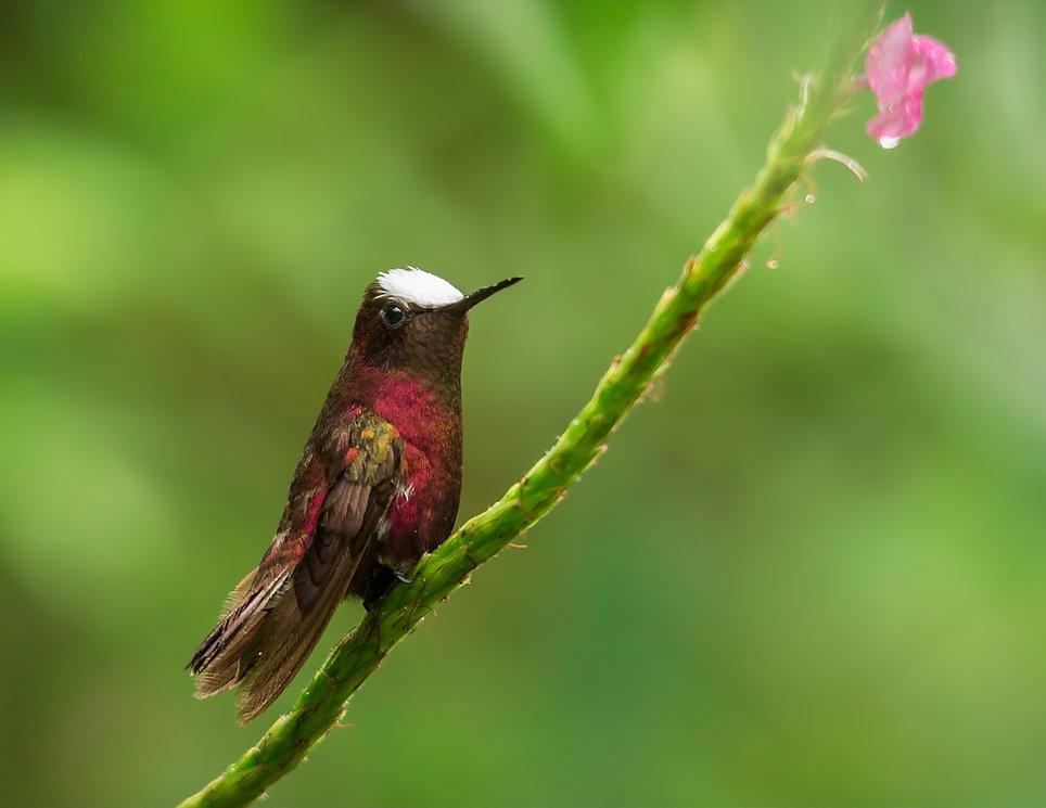 Birding-Costa-Rica_Snowcap.jpg