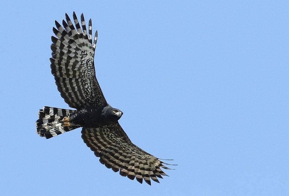 Black-Hawk-eagle.jpg