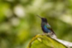 Birding-Ecuador-Velvet-purple-Coronet.jp