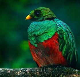 Birding-Ecuador-Golden-headed Quetzal, C