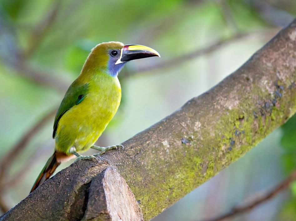 Emerald toucanet is the smallest toucan