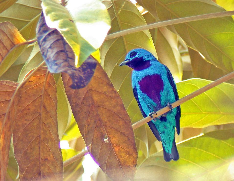 Male Turquoise cotinga (Cotinga ridgwayi