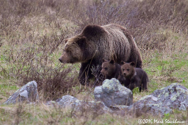 Grizzly w 2 cubs.jpg