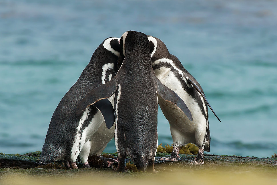 Group of Magellanic penguins gather toge