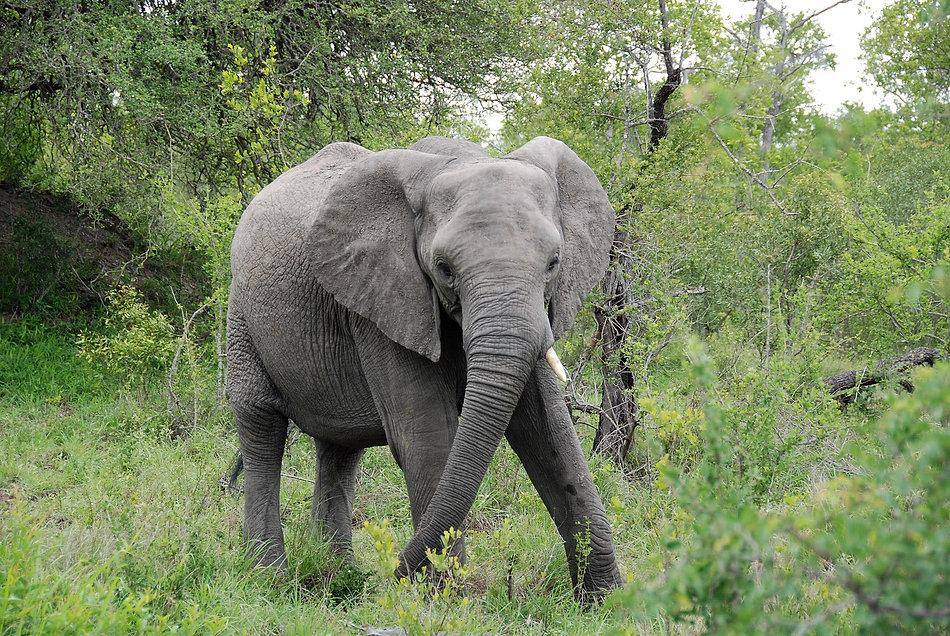 Elephant, South Africa.JPG