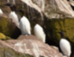 Common Murres, Bay Bulls, Newfoundland.J