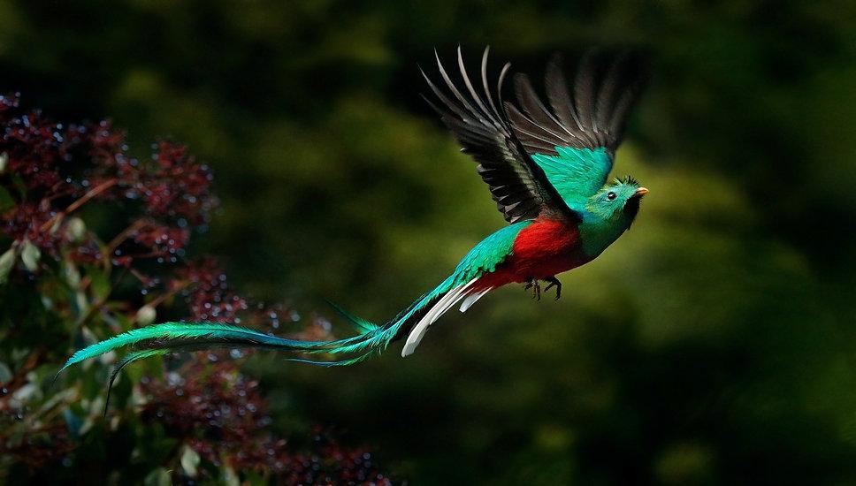 Resplendent-Quetzal.jpg