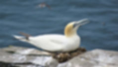 Norther Gannet in Newfoundland.jpg