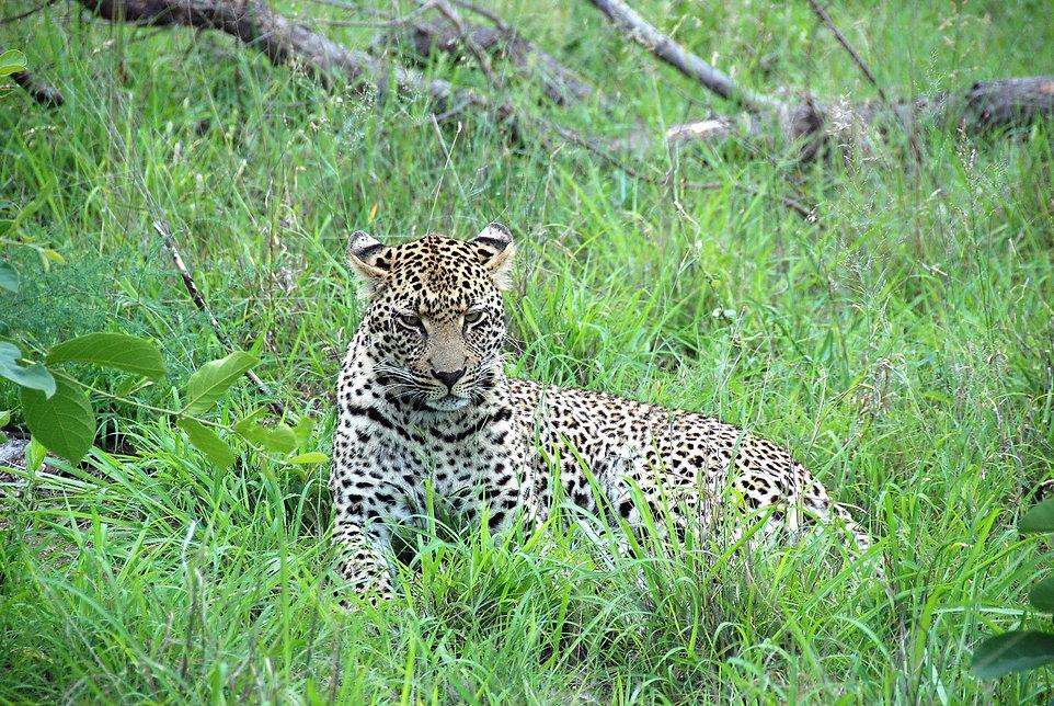 South-Africa-Safari-Leopard.JPG