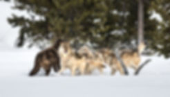 Yellowstone-National-Park-Wolves.jpeg.jp