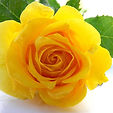yellow-rose-1-1396681.jpg