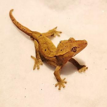 Dalmation Crested Gecko 1.0 (Bart) - Neu