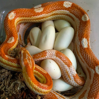 Albino motley corn snake with eggs