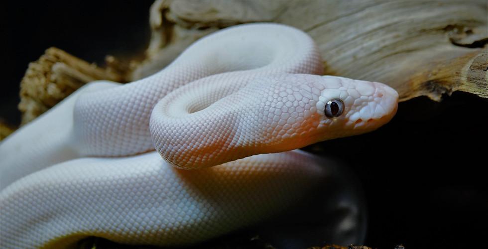 Python regius - Blue Eye Leucy .jpg