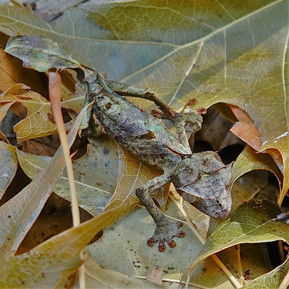 Uroplatus phantasticus 1.jpg