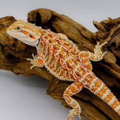 Pogona vitticeps Red.jpg