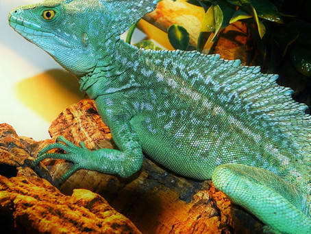 Basilisks - unique, fascinating and extremely showy lizards