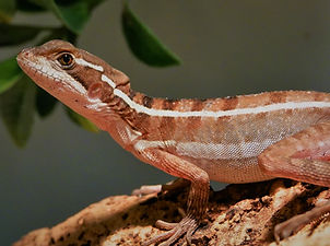 Basiliscus vittatus female2.jpg