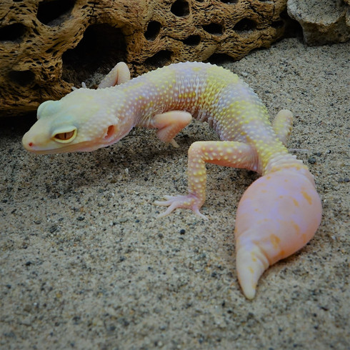 Leopard Gecko - bulbouse tail  Perfect I