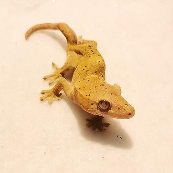 Dalmation Crested Gecko 0.1 (Juniper) -