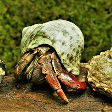 Coenobita clypeatus - Hermit crabs nativ