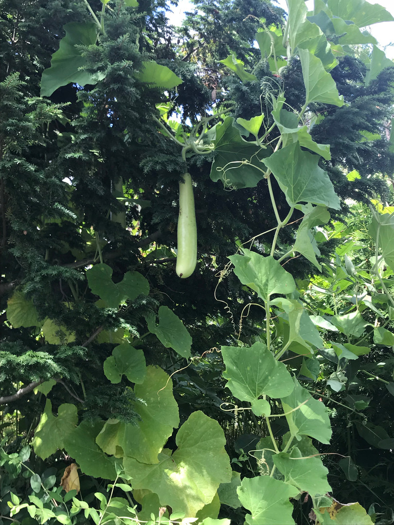 Indian Long Gourd