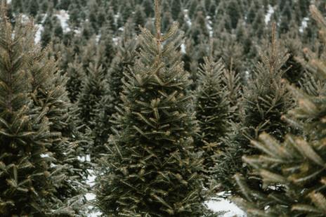 perfect-christmas-pine-tree.jpg