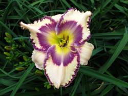 Mom's Gift of Violets (Druckenbrod)
