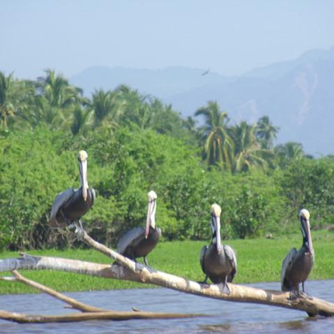 Pelicans, Boca Lagoon