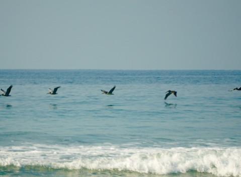 Pelicans, Troncones Beach
