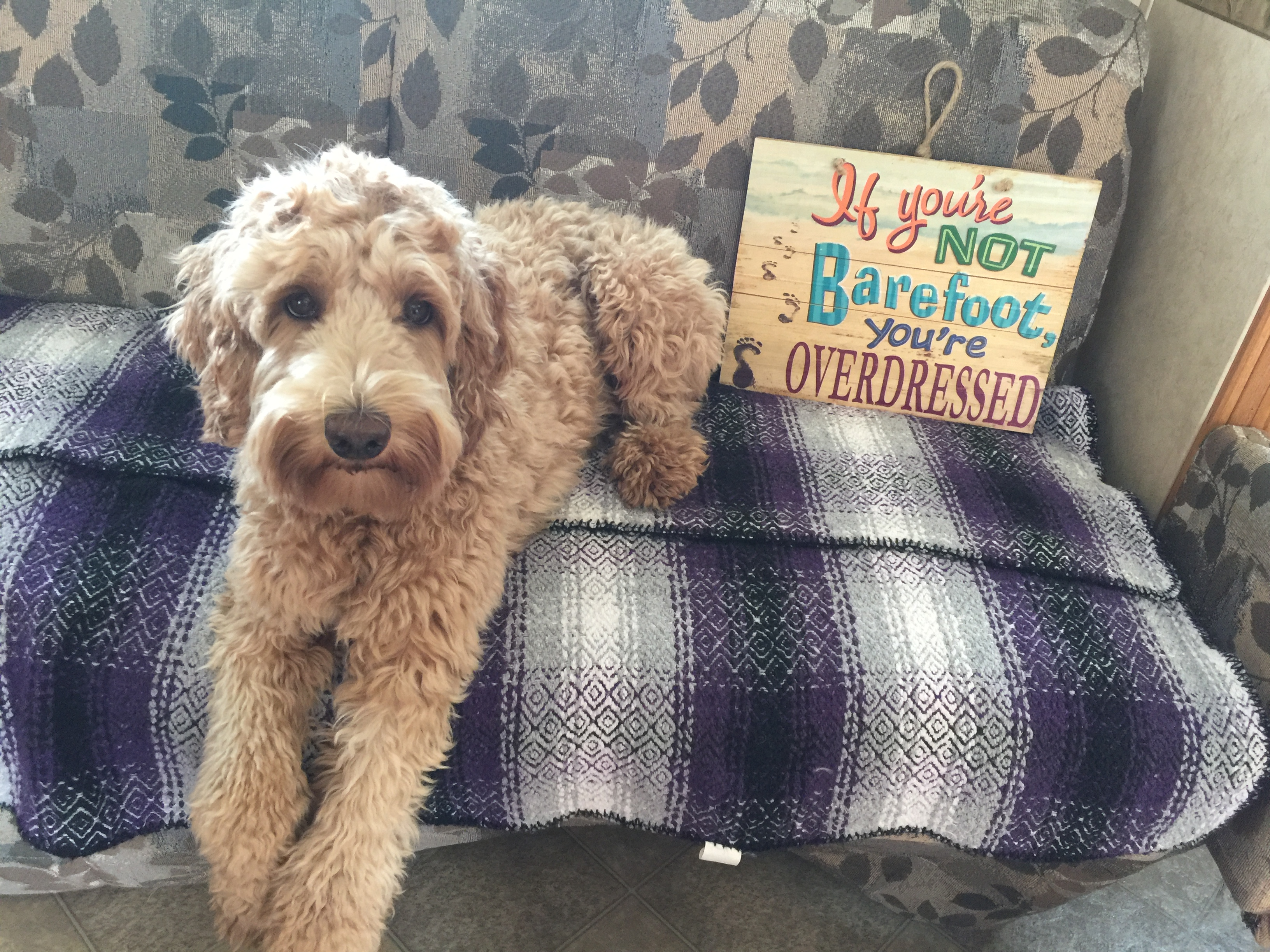 Neilly Labradoodles - Sunvalley's Gorgeous Gracie