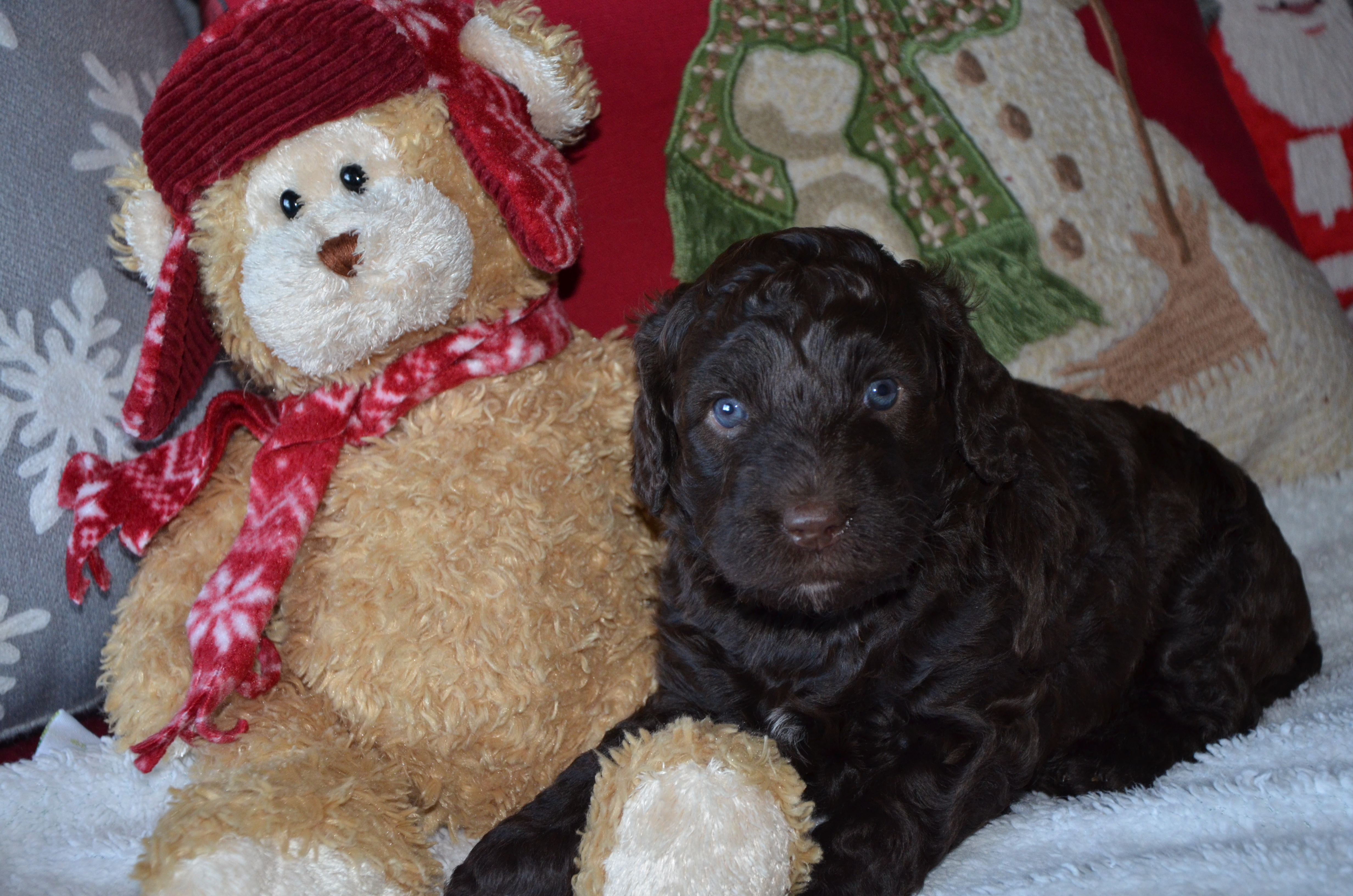 Neilly Labradoodles