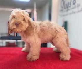 Dog-Grooming-Doncaster-Poodlemix.jpg
