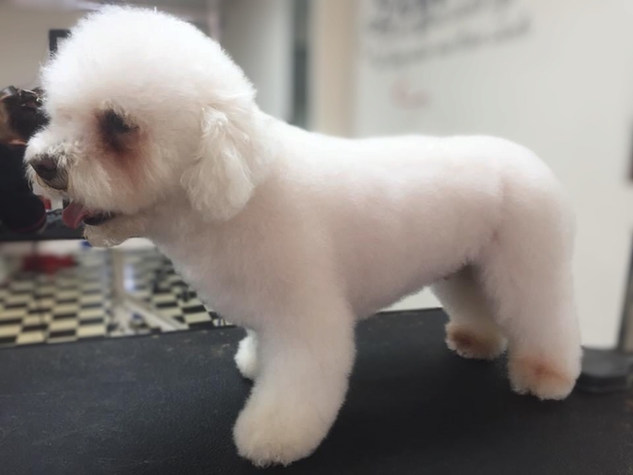 Dog-Grooming-Doncaster-Bichon.jpg